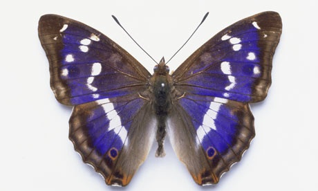 Peacock Purple Emperor Buddleia Purple Butterflies